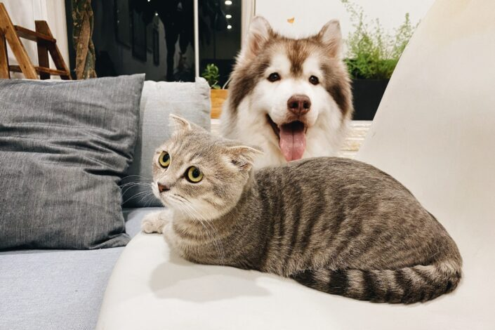 Husky y gato sentado en un sofá